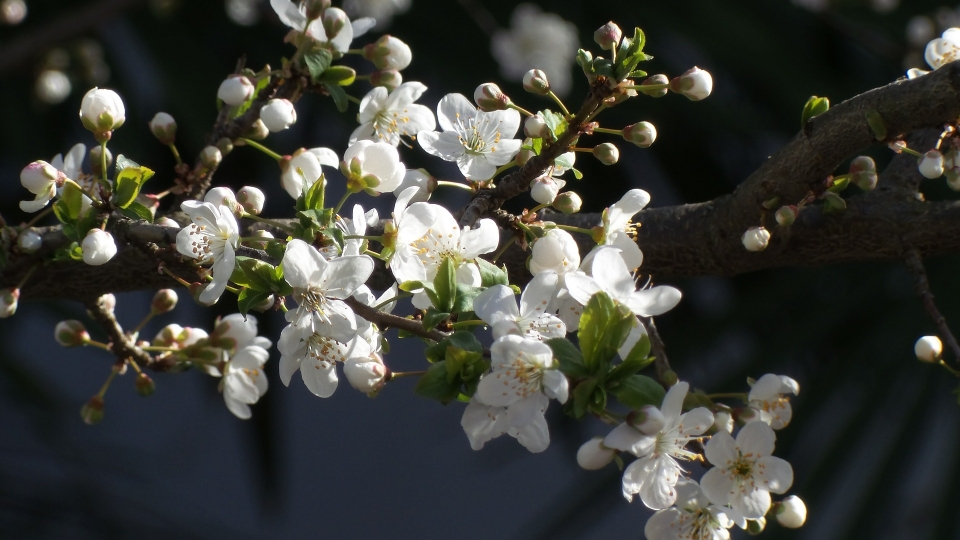 White Apricot Flower