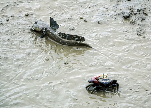 Inhabitants of the mudflat include the mudskipper and the sand crab.