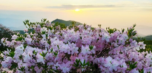 Royal azaleas complement the view of the sunset on Jirisan Mountain.